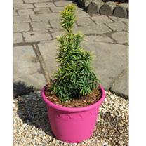 Taxus Plant - Standishii