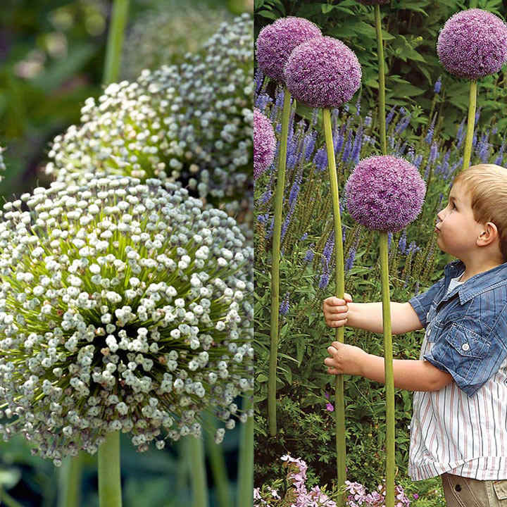 Allium Giants Bulbs - Twin Pack Mont Blanc 3 & Giganteum 3
