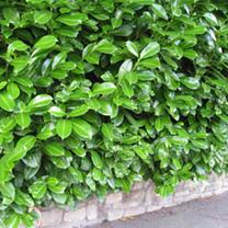 Prunus Laurocerasus Rotundifolia (Laurel) Plants - 6 x 5 Litre Pots