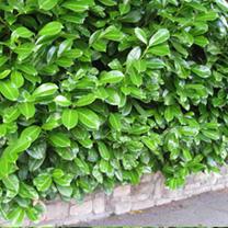Prunus Laurocerasus Rotundifolia (Laurel) Plants - 16 x 2 Litre Pots