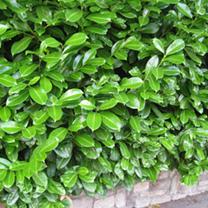 Prunus Laurocerasus Rotundifolia (Laurel) Plants - 12 x 5 Litre Pots
