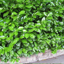 Prunus Laurocerasus Rotundifolia Plants - 20 x 10 Litre Pots