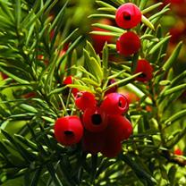 Taxus baccata Plants - 20 x 5 Litre Pots