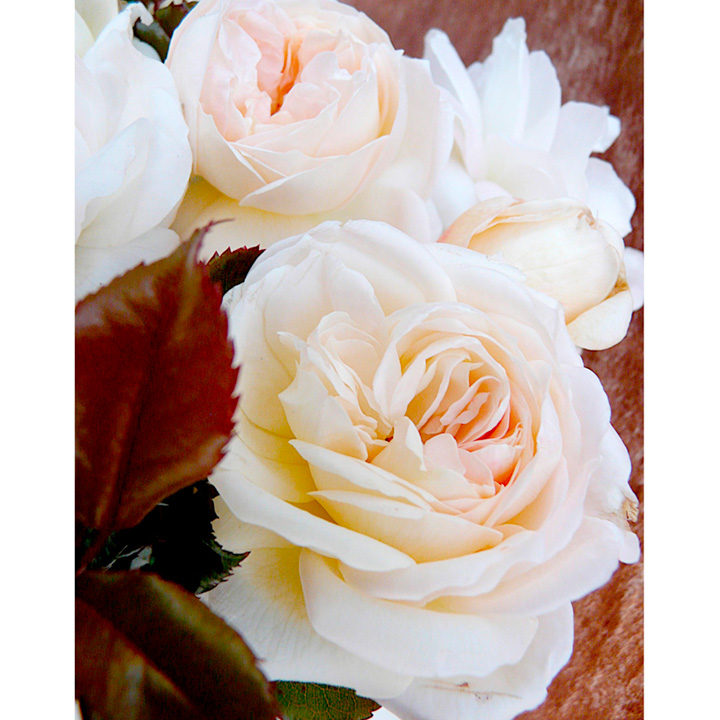 Rose Plant - White Fox