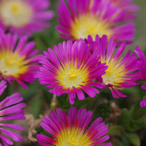 Delosperma Plant - Wheels of Wonder Hot Pink