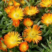 Delosperma Plant - Wheels of Wonder Orange Wonder