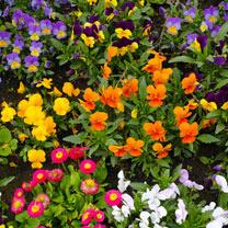 Primrose/Polyanthus Plants Lucky Dip - Garden Ready Plugs