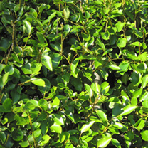 Griselinia Potted Plants - 60cm+ x 20