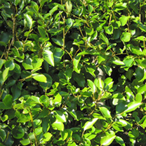 Griselinia Potted Plants - 100cm+ x 10