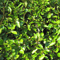 Griselinia Potted Plants - 100cm+ x 20