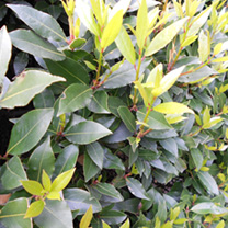 Laurus nobilis Potted Plants - 20cm+ x 10