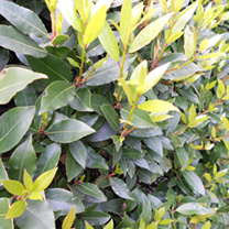 Laurus nobilis Potted Plants - 120cm+ x 20