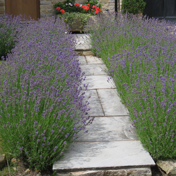 Lavandula angustifolia Hidcote Potted Plants