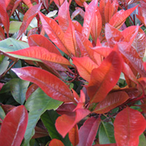 Photinia x fraseri Red Robin Potted Plants - 60cm+ x 10