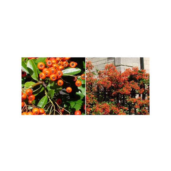 Pyracantha Orange Glow Potted Plants
