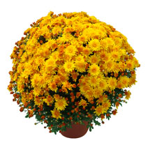 Chrysanthemum Plant - Killico Amber