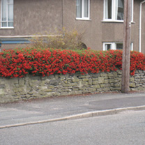 Pyracantha Red Colum Potted Plants - 40cm+ x 10