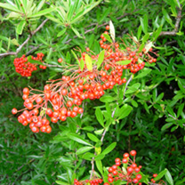 Pyracantha Red Column Potted Plants