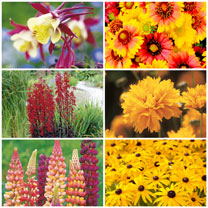 Flaming Summer Perennials