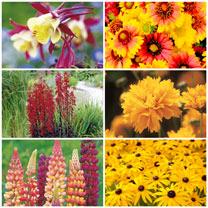Flaming Summer Perennials