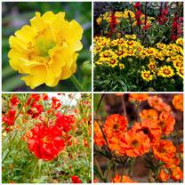 Gold Gardening Greats - 3 Free Gerbera Plants