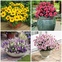 2 Litre Potted Bedding Plants - Lucky Dip (6 Plants)