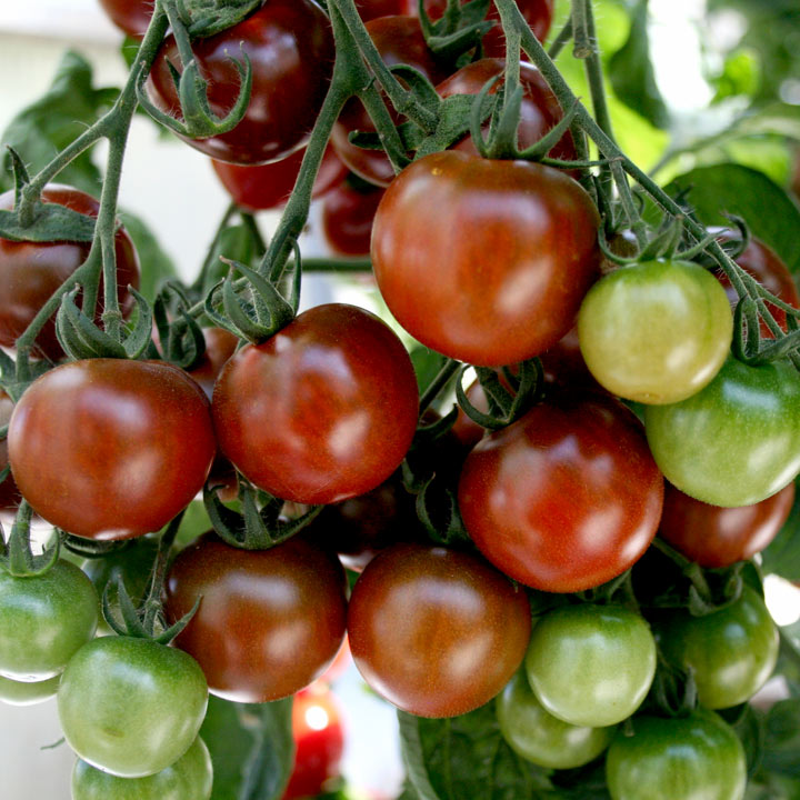 Tomato Grafted Nutrient Lycocherry
