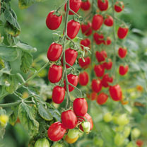 Grafted Tomato Plants - Plum Lycoplum