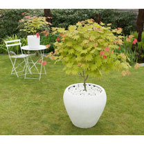 Acer shirasawanum Plant - Moonrise
