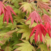 Acer shirasawanum Plant - Moonrise®