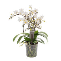 Wild Orchid - White