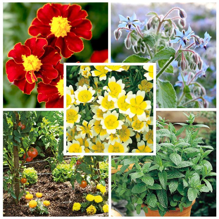 Companion Planting Selection Plants (Organic)