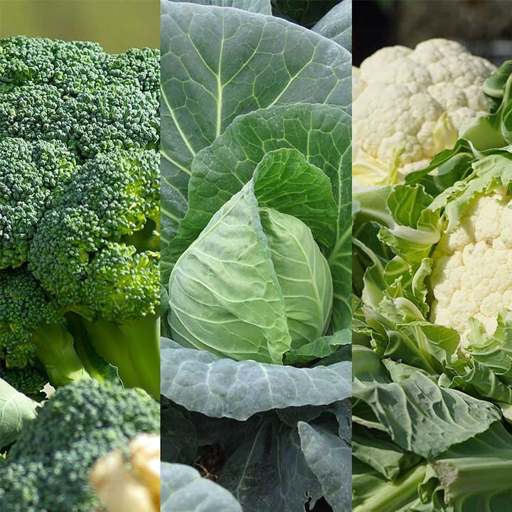 Early Brassica Collection