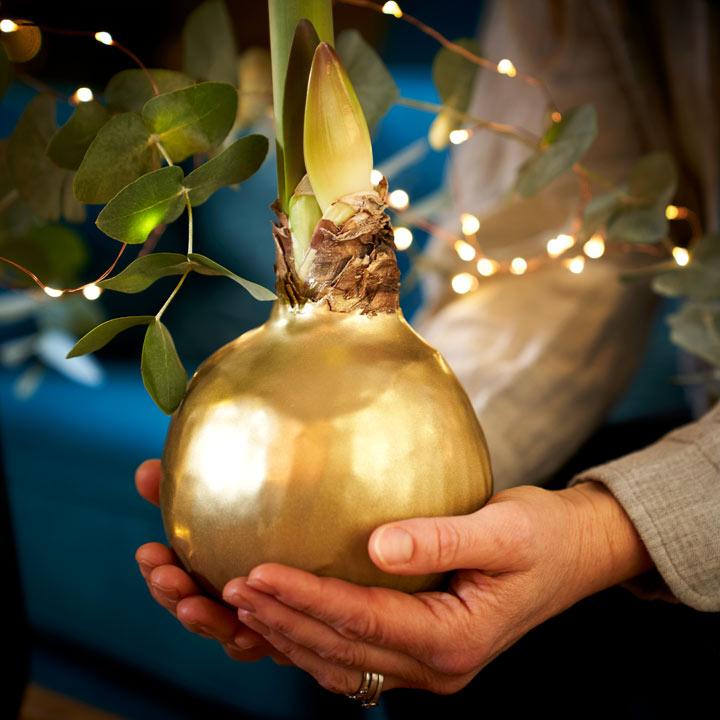 Amaryllis Red Bulb - Giant Wax Gold