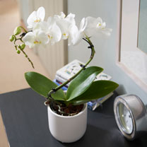 Orchid Balletto in Ceramic Pot