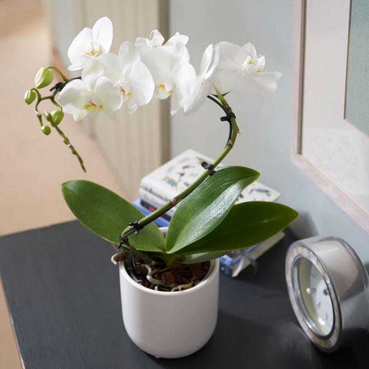 Orchid Balletto in Ceramic Pot