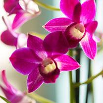 Orchid Plant - Denbrobium Sa-Nnok Purple Happiness