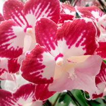 Orchid Plant - Phaleonopsis Tinkerbell