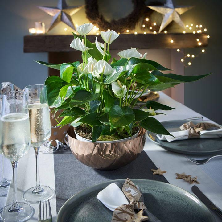 Anthurium Table Top Plant - White