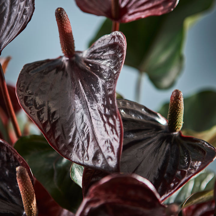 Anthurium Plant - Beauty Black