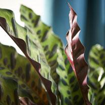 Houseplant Calathea Lancifolia