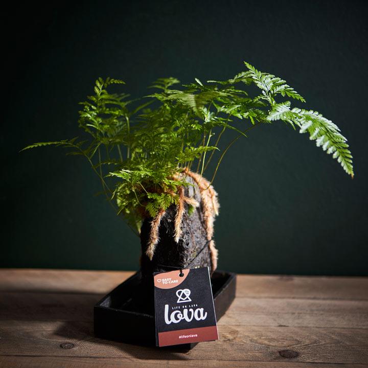 Lava Plant - Davallia