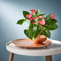 Anthurium Table Top Plant - Pink
