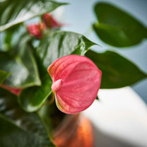 Anthurium Table Top Plant - Pink