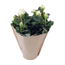 Rose Plant - Christmas Rose + FREE Gloves and Secateurs