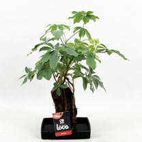 Lava Plant - Schefflera