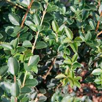 Osmanthus delavayi Plant