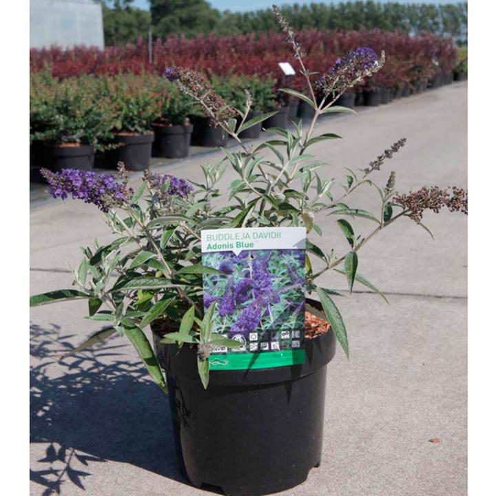 Buddleia Plant - Adonis Blue