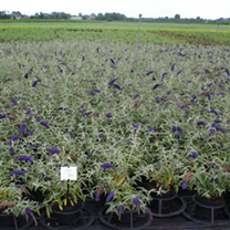 Buddleia dav. Plant - Blue Chip