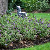 Buddleia Plant - Purple Chip